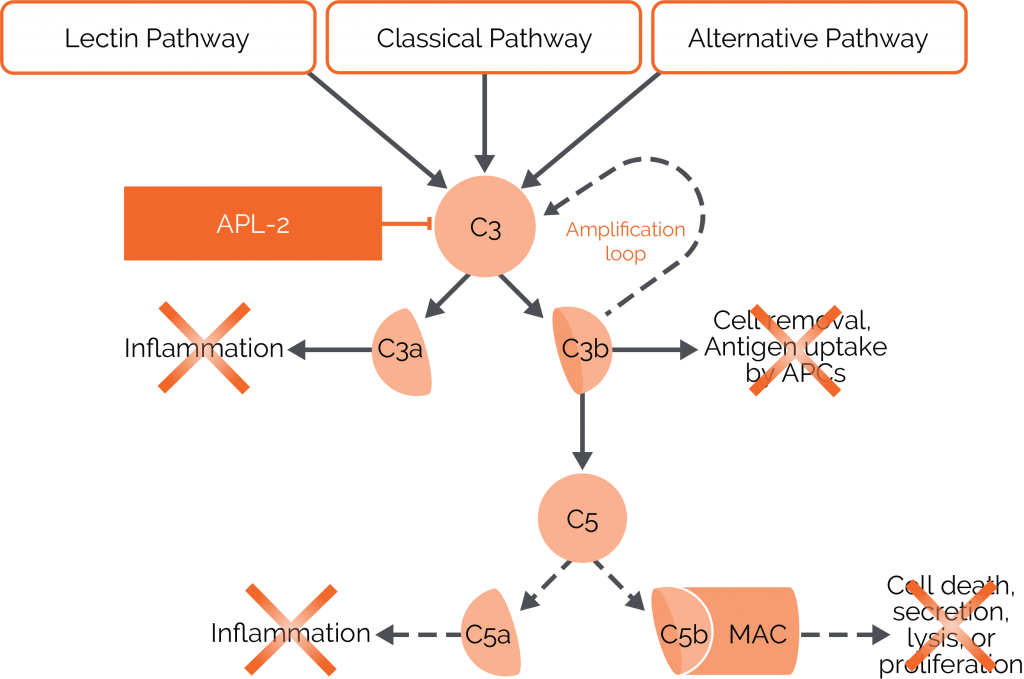 Diagram that illustrates the 3 pathways of complement activation, the essential role of C3 complement, and the effect of APL-2 (pegcetacoplan) on C3 activation